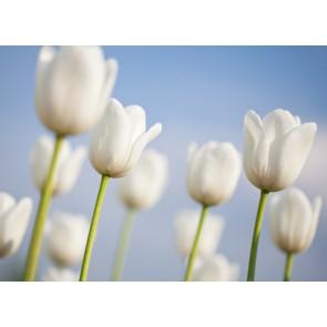 Fotomural tulipanes blancos