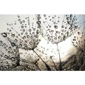 Fotomural lluvia sobre dientes de león