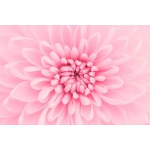 Fotomural Crisantemo rosa