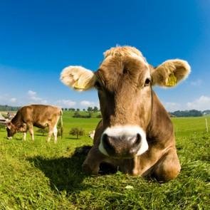 Fotomural vaca