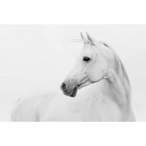 Fotomural Caballo árabe blanco