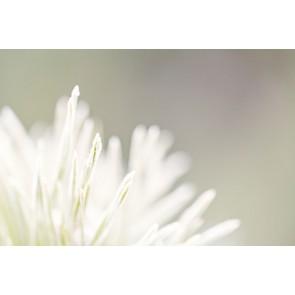 Fotomural flor blanca